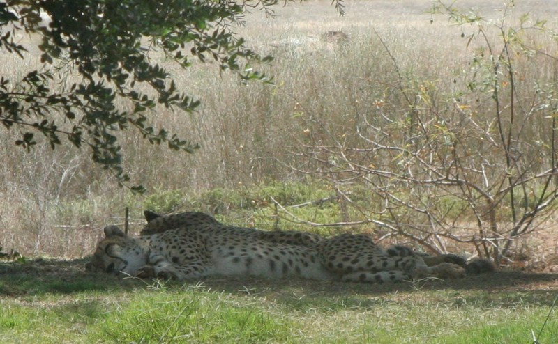 Cheetas - The best view I got of them was when I got home and could zoom in to the photo.